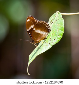 Brown White Butterfly with closed wings on a single leaf in Queensland, Australia. Hypolimnas bolina aka great eggfly, common eggfly or blue moon butterfly.