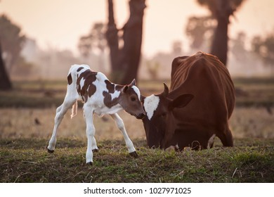 Brown and white calf with his mother cow in a  farm.