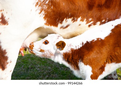 Brown and white calf  suckling. Irish Moiled - breed from Northern Ireland is economic to keep and produces a lot of milk and meat from grazing