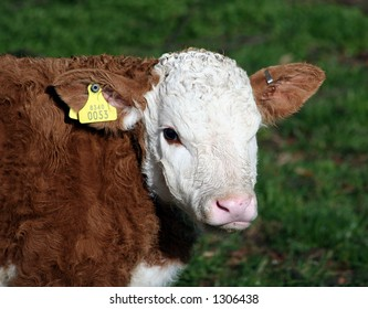 A brown and white calf with yellow ID tag