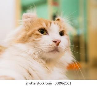 Brown White cat fur