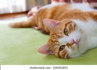 Brown white cat relaxing beside the kotatsu