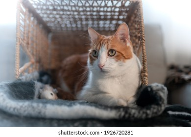 brown and white cat with yellow eyes into a wicker basket. close up