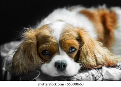 brown white Cavalier King Charles Spaniel dog lying on a pillow inside