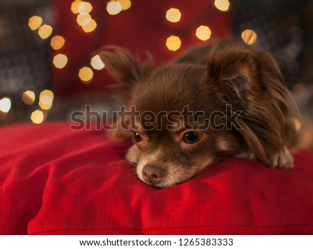 Brown and white chihuahua on red pillow with blurred christmas lights in the background.