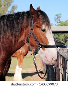 Brown and White Clydesdale Heavy Horse