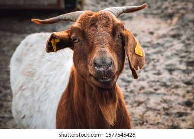 Brown and white colour goat portrait in the farm.