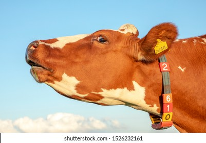 Brown and white cow does moo with stretched neck and her head uplifted.