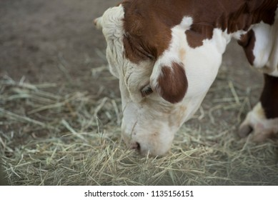 Brown and White Cow Eating Hay