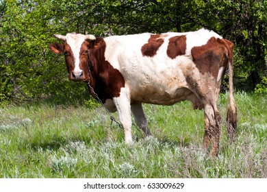 brown and white cow grazes on a meadow in the village