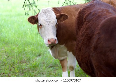 brown and white cow in green field dairy agriculture milk production