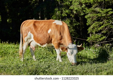 Brown white cow with horns in Switzerland