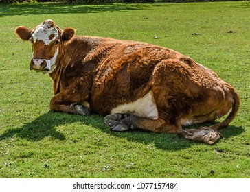Brown and white cow laying in field looking at camera.