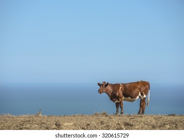 Brown and White cow on a dry dirt piece of farmland overlooking the ocean
