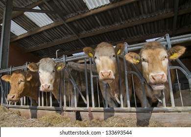 brown white cow in a stable in the netherlands