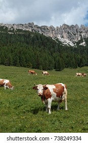 Brown and White Cows Pasturing in Grazing Lands: Italian Dolomit