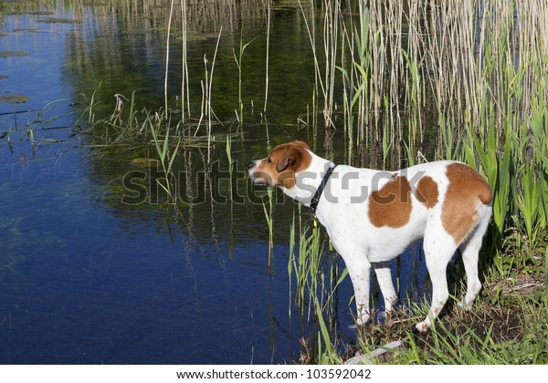 a brown and white cross breed dog looks across the water and reeds of an inland waterway in summer