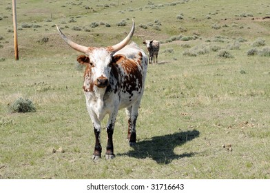 brown and white curious longhorn