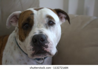 Brown and white dog facing forward