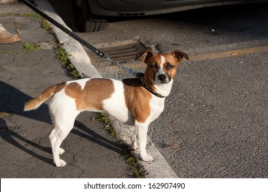A brown and white dog standing near a person