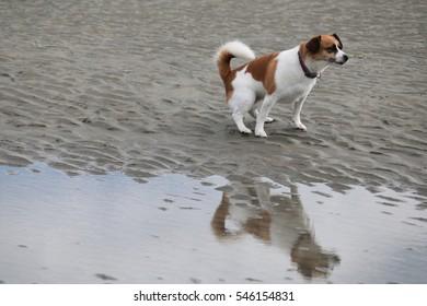 Brown & white dog takes a whiz on beach