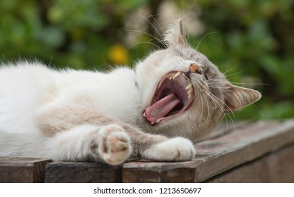 Brown and white domestic cat having a huge yawn while lying on a slatted wooden table