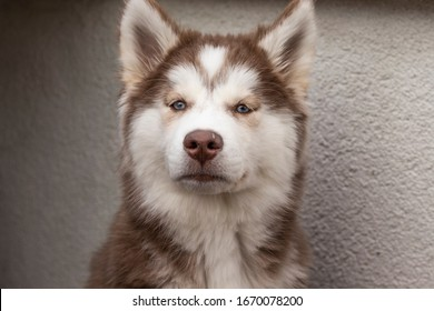 brown white feather 3 month old puppy siberian wolf