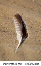 A brown and white feather, lying in the sand on an Australian beach.