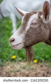 Brown and white funny goat goatee.