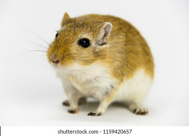 a brown and white gerbil, rodent, on white background