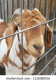Brown and white goat behind silver fence
