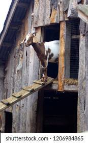 Brown and white goat coming out of old wood barn