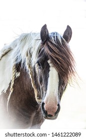 Brown and white Gypsy Vanner horse head portrait on a white background