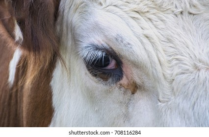 brown and white, hereford bull - cow eye in closeup