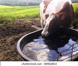 Brown and White Holstein Cow drinking water from trough in a field.