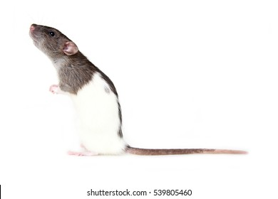Brown and white hooded rat standing