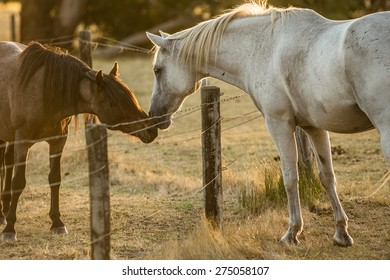 a brown and a white horse with a fence dividing them sniff each others nose which looks a lot like having affection and that they are kissing. The evening sun is lighting them from behind.
