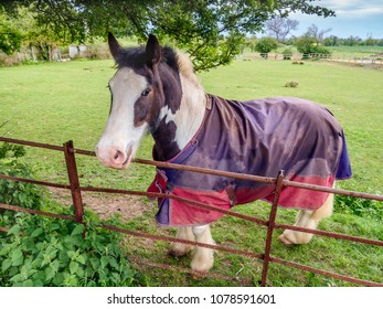 brown and white horse in a paddock in countryside looking over a fence,  it is raining and he has a coat on