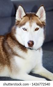Brown Eyed Husky Images, Stock Photos & Vectors | Shutterstock
