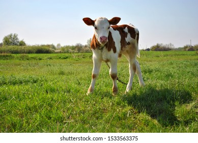 Brown and white male calf tied with a chain standing on a grassy meadow and licking nose with long tongue, blue clear sky background