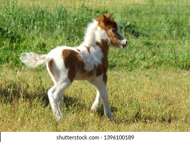 Brown and white miniature horse colt galloping in pasture
