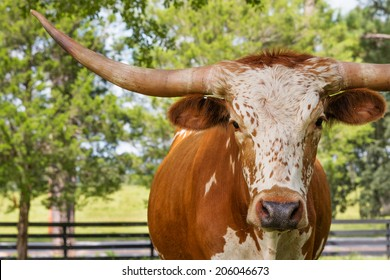 Brown and white miniature Texas longhorn cow head and horns in field facing camera