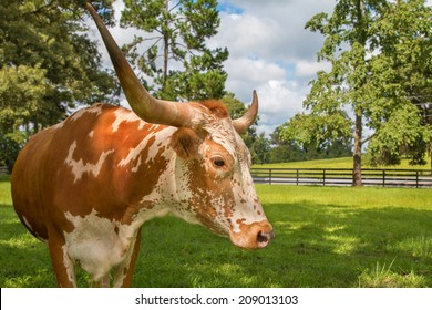 Brown and white miniature Texas longhorn cow head and horns in field