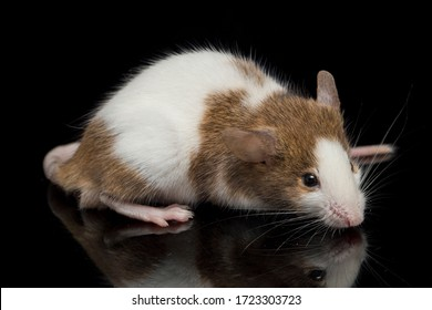 Brown white  mouse isolated on white background