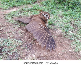 brown and white owl lying on grass and earth with wings spread