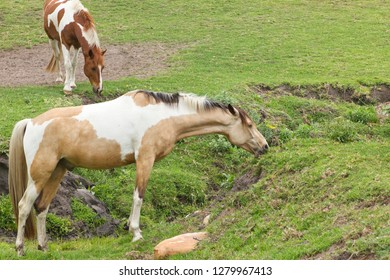 Brown and white patched horses grazing on short grass in a rocky area on a sunny morning