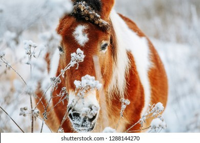 Brown and white or pinto colored wild horse in the snow on a blistering cold winter day with evening sunshine and frost in the trees