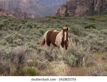 A brown and white pinto horse turns towards the camera as it walks through a field of sagebrush in the American southwest desert.