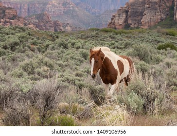 A brown and white pinto horse walks through the sagebrush of the American southwest with the wind blowing it's mane and red and black sandstone cliffs in the distance.