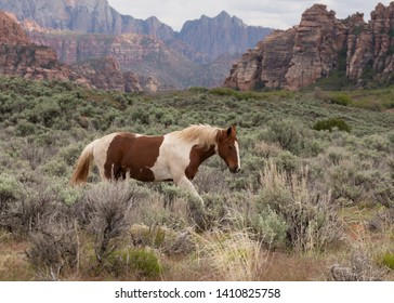 A brown and white pinto horse walks from left to right in a field of sagebrush with sandstone cliffs in the distance.